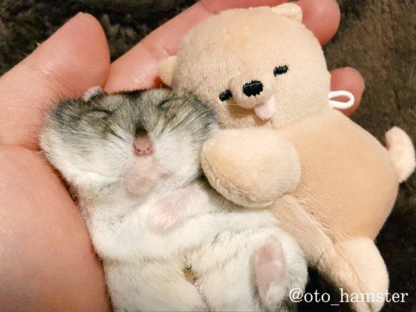 小さなぬいぐるみに寝かしつけられるハムスター 可愛すぎると話題小さなぬいぐるみに寝かしつけられるハムスターの「音くん」がかわいいどころの騒ぎじゃない