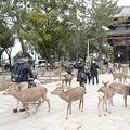 中国人観光客の減少で奈良公園の鹿に影響?お腹が減って余裕なしか