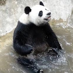 タイ北部のチェンマイ動物園の人気者だった雄のパンダ「チュワンチュワン」。9月16日夕に急死した(動物園提供)