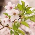 桜の健康状態は調査開始の2011年以来最悪の結果に 咲き方に影響も