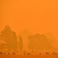 オーストラリアの首都キャンベラの南にある町バンバロング近くで、森林火災が迫る中、草を食べる牛たち(2020年2月1日撮影)。(c)PETER PARKS / AFP