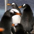 ペンギンのジニーがFA杯決勝でアストン・ビラの勝利を予想