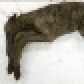 「3万年以上前に死亡した子馬」 永久凍土から完全な状態で発見