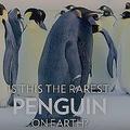 唯一無二の存在感 非常に稀なメラニズムの黒いコウテイペンギン