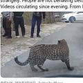 カメラを向ける人々に歩み寄る野生のヒョウ(画像は『Parveen Kaswan, IFS 2021年1月15日付Twitter「Not able to read behaviours of this leopard.」』のスクリーンショット)