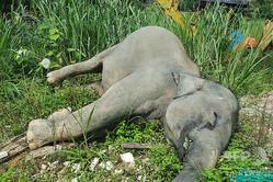 マレーシア南部ジョホール州で発見されたゾウの死骸。同国の野生動物・国立公園局が提供(撮影日不明、2019年6月7日公開)。(c)AFP=時事/AFPBB News