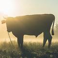 細菌の遺伝子を持つ牛が誤って作り出される 気づかず精子から子孫も誕生