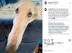 30.988cmの長い鼻を持つボルゾイ犬(画像は『Eris The Borzoi 2020年4月30日付Instagram「A snoot that gets Eris into any trouble she wants, and eyes that get her out.」』のスクリーンショット)