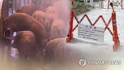 京畿道坡州市で、韓国最初のアフリカ豚コレラが確認された(コラージュ)=(聯合ニュース)