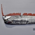 謎多き深海魚 富山県沖で捕獲