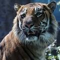 エサ代の高い動物、第1位のスマトラトラ。他の種類のトラに比べ小柄で、特に雄はほっぺの毛が長めなのが特徴。小柄といっても、そばで見るとかなりの迫力と風格だ