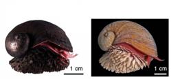 スケーリーフットの写真。左がKaireiフィールドで採取された硫化鉄を身にまとう個体。右がSolitaireフィールドで採取された硫化鉄をまとわない個体。(画像:海洋研究開発機構発表資料より)