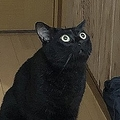 初めてドローンを見て「目を丸くした」猫がかわいいと話題