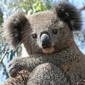 野生のコアラ 豪政府が生息地保全に取り組まなければ2050年までに絶滅も