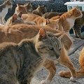 人口6人の青島 島民の要請で猫172頭に無料で一斉不妊・去勢手術