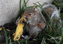 バナナの皮を食べるリス。米首都ワシントンで(2009年9月16日撮影、資料写真)。(c)KAREN BLEIER / AFP