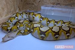 逃げたアミメニシキヘビ(飼い主の男性提供)