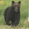 クマが出現 専門家「異常個体」