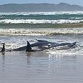 豪タスマニア島西部のマッコーリーハーバーで、砂州で身動きが取れなくなったクジラ。タスマニア州警察提供(2020年9月21日撮影、公開)。(c)AFP PHOTO / TASMANIA POLICE