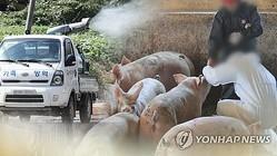 韓国で9例目のアフリカ豚コレラ感染が確認された=(聯合ニュースTV)