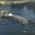 のどじま水族館の国内最高齢ラッコ・「ラスカ」が死ぬ 25歳