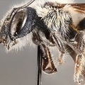 フロリダ州で非常に希少な「青いハチ」が4年ぶりに発見される