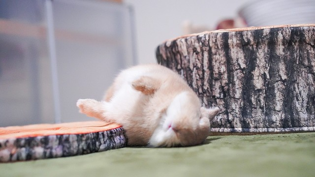無防備すぎ!完全に野生を忘れて眠るウサギ