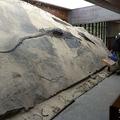 中国貴州省の博物館の入り口の近くに展示されたイクチオサウルスの化石。胃の内容物によって腹部が突き出ている(撮影日不明、2020年8月20日提供)。(c)AFP PHOTO /RYOSUKE MOTANI/HANDOUT