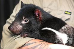 オーストラリア・クレイドルマウンテンの野生動物保護施設「デビルズ・アット・クレイドル」で、タスマニアデビルを抱くクリス・クープランド氏(2019年2月23日撮影)。(c)William WEST / AFP