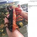 真ん中でくっきり2色に分かれたロブスター(画像は『Maine Center for Coastal Fisheries 2019年9月6日付Facebook「We've seen some pretty cool lobsters in our marine touch tank over the years, but this one might be a first!」』のスクリーンショット)