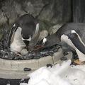 豪のオス同士のペンギンカップル「里親」として温めていた卵がふ化
