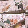 伊豆で撮影された「ニャンコと桜」に大反響「天国かよ」の声も