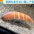 寿司にそっくりな深海生物が話題