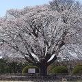 水戸市の「左近の桜」が台風15号の強風で倒れる 腐朽菌に侵され再生不可能