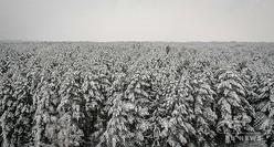 ロシア・シベリア地方のマツの木(2019年2月13日撮影)。(c)Yuri KADOBNOV / AFP