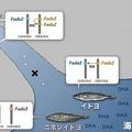 イトヨの淡水域への進出とDHA合成酵素Fads2遺伝子の増加。(画像:国立遺伝学研究所発表資料より)