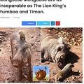 ティモンとプンバァにそっくりの2匹(画像は『Eminetra.co.uk 2021年5月15日付「Cape Ivoino Miss Piggy and Mongoose Mongoose are as inseparable as The Lion King's Pumbaa and Timon.」』のスクリーンショット)