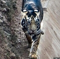 """黒い毛に覆われた虎""""ブラックタイガー""""と奇跡的に遭遇(画像は『The Sun 2020年11月4日付「STRIPE OF LUCK Rare black tiger caught on camera by lucky photographer as just SIX now known to exist in the wild」(Credit: Caters News Agency)』のスクリーンショット)"""