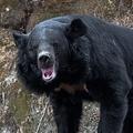 クマは地震の前兆?(AFLO)