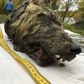ロシア・シベリアの永久凍土から発見された約3万2000年前のオオカミの頭部。サハ共和国科学アカデミー提供(2018年9月6日撮影)。(c)AFP=時事/AFPBB News