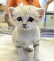 つぶらな瞳・歩みは力強く…「世界最小...