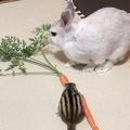 リスが人参を独り占め 下僕のうさぎは葉っぱしか食べられない…