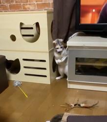 自分でねこじゃらしを持って遊ぶ猫さんにビックリ!日頃の様子を飼い主さんに聞いてみた