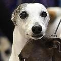 犬の目 筋肉進化で人操る表情に?