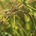韓国で普及しているコシヒカリら日本産品種の米 5年以内の置き換え計画