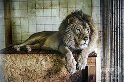 動物園で飼育されているライオン(2019年5月7日撮影、資料写真)。(c)Gent SHKULLAKU / AFP