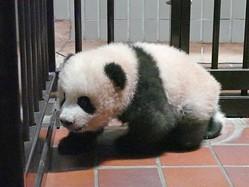 赤ちゃんパンダ・シャンシャン、「四肢で歩けるようになりました」
