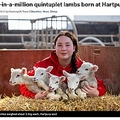 全員元気に育っているという五つ子の羊(画像は『FarmingUK 2021年3月2日付「One-in-a-million quintuplet lambs born at Hartpury」』のスクリーンショット)