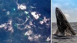 ザトウクジラの巨大な群れ、オーストラリア沖で初の撮影に成功