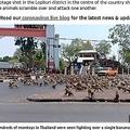 タイ中部の街ロッブリーで暴走するサル(画像は『The Sun 2020年3月13日付「MONKEY NUTS Hundreds of ravenous wild monkeys terrorise Thai city in search of food after coronavirus drives tourists away」』のスクリーンショット)